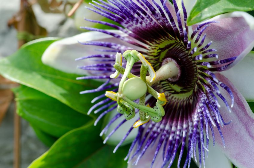 GABA Therapy for Insomnia: The Effects of Passionflower